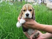 Собаки, щенки Бигль, цена 35 000 рублей, Фото