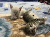 Кошки, котята Сиамская, цена 10 рублей, Фото