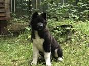 Собаки, щенки Американский акита, цена 25 000 рублей, Фото