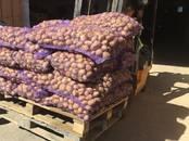 Продовольствие,  Овощи Картофель, цена 11.50 рублей/кг., Фото