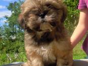 Собаки, щенки Лхаса апсо, цена 20 000 рублей, Фото