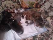 Кошки, котята Бенгальская, цена 10 рублей, Фото