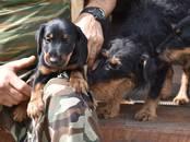 Собаки, щенки Ягдтерьер, цена 17 000 рублей, Фото