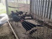 Птицеводство Куры, цена 1 500 рублей, Фото