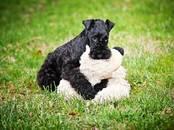 Собаки, щенки Керриблю терьер, цена 15 000 рублей, Фото
