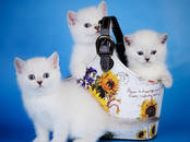 Кошки, котята Британская короткошерстная, цена 10 000 рублей, Фото