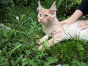Кошки, котята Мэйн-кун, цена 30 000 рублей, Фото