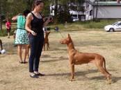Собаки, щенки Фараонова собака, цена 50 000 рублей, Фото
