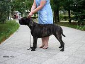 Собаки, щенки Бульмастиф, цена 50 000 рублей, Фото
