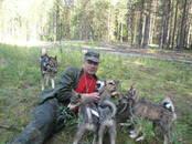 Собаки, щенки Западно-Сибирская лайка, цена 15 000 рублей, Фото