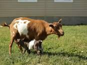 Животноводство,  Сельхоз животные Козы, цена 15 000 рублей, Фото