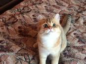 Кошки, котята Британская короткошерстная, цена 20 000 рублей, Фото