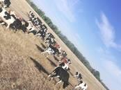 Животноводство,  Сельхоз животные Крупно-рогатый скот, цена 20 000 рублей, Фото