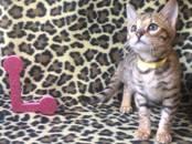 Кошки, котята Бенгальская, цена 10 000 рублей, Фото