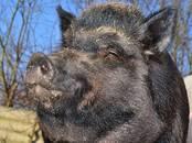 Животноводство,  Сельхоз животные Свиньи, цена 1 000 рублей, Фото