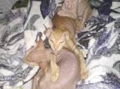 Кошки, котята Донской сфинкс, цена 9 000 рублей, Фото