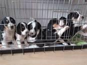 Собаки, щенки Эстонская гончая, цена 7 000 рублей, Фото