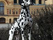 Собаки, щенки Далматин, цена 15 000 рублей, Фото
