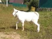 Животноводство,  Сельхоз животные Козы, цена 10 000 рублей, Фото