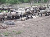 Животноводство,  Сельхоз животные Бараны, овцы, цена 140 рублей, Фото