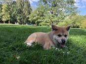 Собаки, щенки Акита-ину, цена 49 000 рублей, Фото