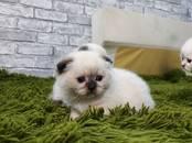 Кошки, котята Шотландская вислоухая, цена 10 000 рублей, Фото