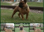 Собаки, щенки Французский бульдог, цена 50 000 рублей, Фото