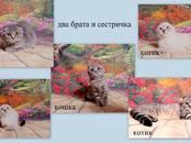 Кошки, котята Британская короткошерстная, цена 5 000 рублей, Фото