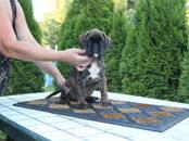 Собаки, щенки Боксер, цена 25 000 рублей, Фото