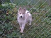 Собаки, щенки Западно-Сибирская лайка, цена 5 000 рублей, Фото