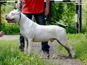 Собаки, щенки Аргентинский дог, цена 70 000 рублей, Фото