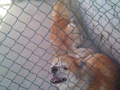 Собаки, щенки Акита-ину, цена 25 000 рублей, Фото