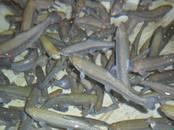 Рыбное хозяйство Рыба живая, мальки, цена 16 рублей, Фото