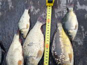 Рыбное хозяйство Рыба живая, мальки, цена 150 рублей, Фото