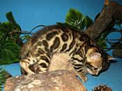 Кошки, котята Бенгальская, цена 15 000 рублей, Фото