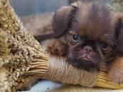 Собаки, щенки Брабантский гриффон, цена 60 000 рублей, Фото