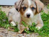 Собаки, щенки Вельш корги кардиган, цена 80 000 рублей, Фото