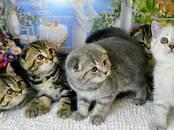 Кошки, котята Шотландская вислоухая, цена 5 000 рублей, Фото