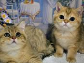 Кошки, котята Шотландская вислоухая, цена 7 959 рублей, Фото