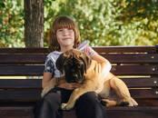 Собаки, щенки Бульмастиф, цена 35 000 рублей, Фото