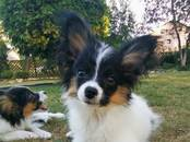 Собаки, щенки Папильон, цена 450 y.e., Фото