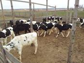 Животноводство,  Сельхоз животные Крупно-рогатый скот, цена 13 000 рублей, Фото