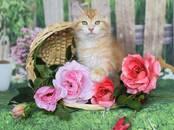 Кошки, котята Сибирская, цена 30 000 рублей, Фото