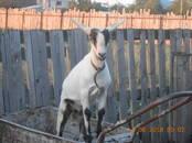 Животноводство,  Сельхоз животные Козы, цена 7 000 рублей, Фото