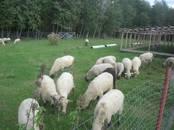 Животноводство,  Сельхоз животные Бараны, овцы, цена 250 000 рублей, Фото