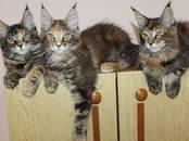 Кошки, котята Мэйн-кун, цена 45 000 рублей, Фото