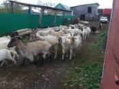 Животноводство,  Сельхоз животные Козы, цена 4 990 рублей, Фото