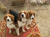 Собаки, щенки Эстонская гончая, цена 6 000 рублей, Фото