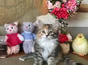 Кошки, котята Сибирская, цена 25 000 рублей, Фото