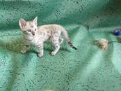 Кошки, котята Бенгальская, цена 70 000 рублей, Фото